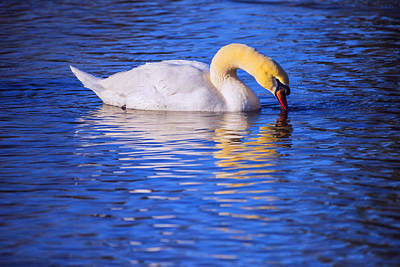 Photograph - White Swan Drinking Water In A Pond by Vishwanath Bhat