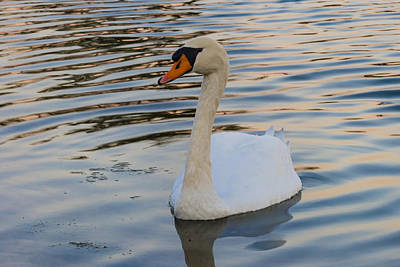 Photograph - White Swan by Ed Gleichman