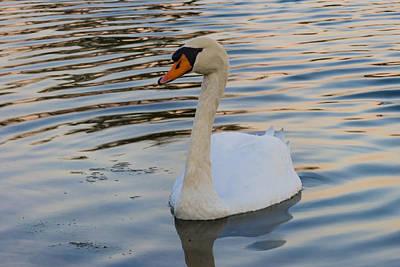 Photograph - White Swan by Ed Gleichman