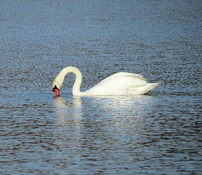 Photograph - White Swan Feeding by MTBobbins Photography