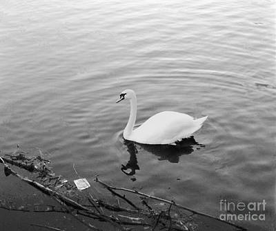 Photograph - White Swan In Black And White by Richard Morris