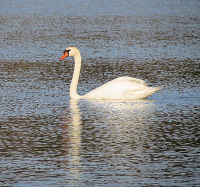 Photograph - White Swan by MTBobbins Photography