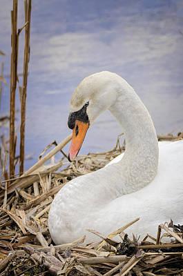 Cygnus Photograph - White Swan On Nest by LeeAnn McLaneGoetz McLaneGoetzStudioLLCcom
