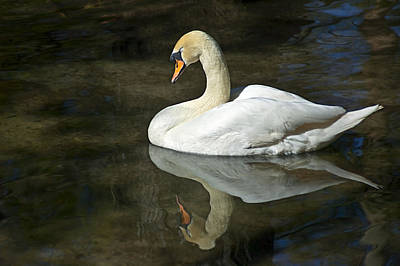 Photograph - White Swan On River by Carolyn Marshall