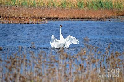 Photograph - White Swan Solo by Sharon Woerner