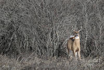 Photograph - White-tail Buck by Brad Allen Fine Art