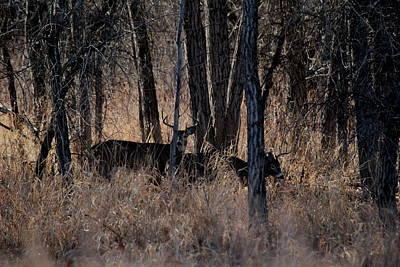 Photograph - White Tail Bucks by Trent Mallett