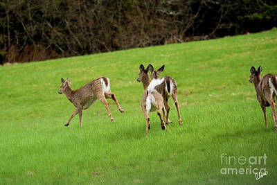 Photograph - Four White Tail Deer  by Alana Ranney