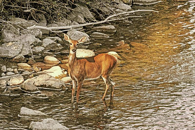 Photograph - White-tail Deer At The River's Edge by Jennie Marie Schell
