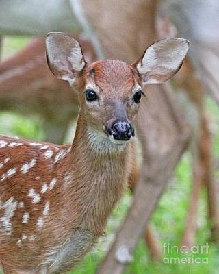 Photograph - White Tail Deer Fawn by Dodie Ulery