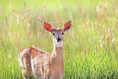 Photograph - White-tail Deer Fawn In Morning Light by Jennie Marie Schell
