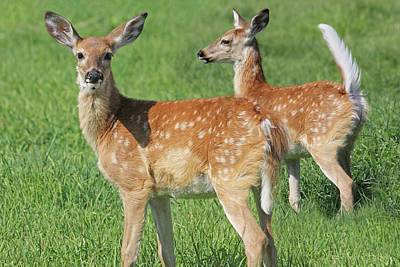 Photograph - Twin White-tail Deer Fawns by Jennie Marie Schell