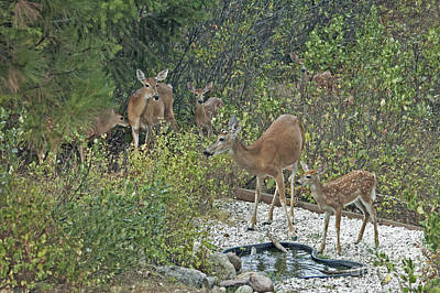 Photograph - White-tail Deer Id by Cindy Murphy - NightVisions
