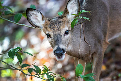 Photograph - White Tail Deer Peeking Through A Bush by Patrick Wolf