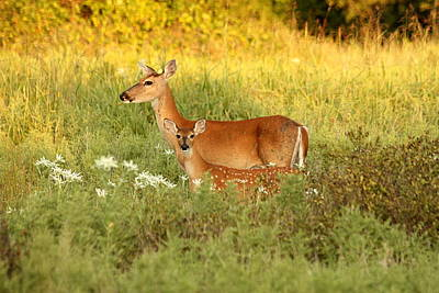 Photograph - White-tail Doe And Fawn In Meadow by Sheila Brown
