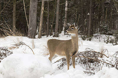Photograph - White Tail by Josef Pittner