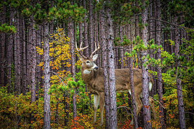 Photograph - White Tailed Buck Among The Pines by Randall Nyhof
