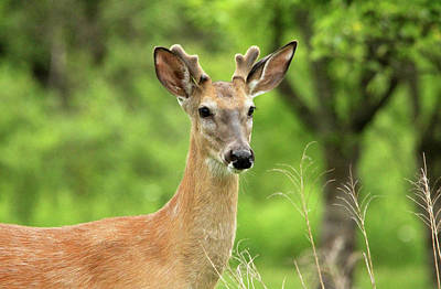 Photograph - White Tailed Buck by Debbie Oppermann