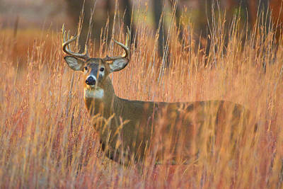 Photograph - White-tailed Buck In Autumn Sunlight by John De Bord
