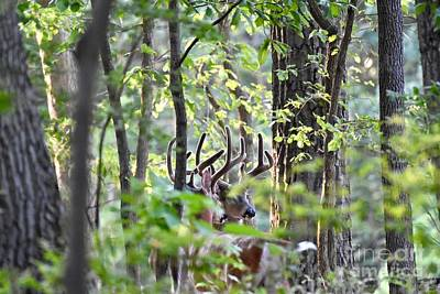 Kim Fearheiley Photography - White-tailed bucks in forest by JL Images
