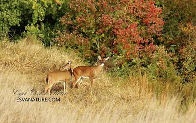 Photograph - White Tailed Deer 1401 by Captain Debbie Ritter