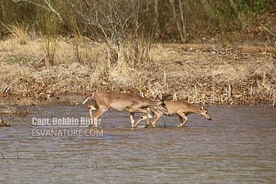 Photograph - White Tailed Deer 8367 by Captain Debbie Ritter