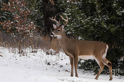 Photograph - White-tailed Deer - 8904 by Jerry Owens
