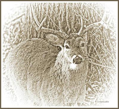 Photograph - White-tailed Deer Buck, Animal Portrait by A Gurmankin
