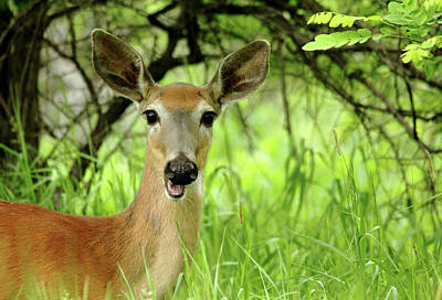 Photograph - White - Tailed Deer Close Up by Debbie Oppermann