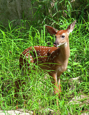 Photograph - White-tailed Deer Fawn Dmam0038 by Gerry Gantt
