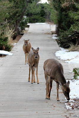 Photograph - White Tailed Deer Fire Island New York by Bob Savage