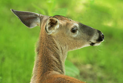 Photograph - White Tailed Deer by Gordon Ripley
