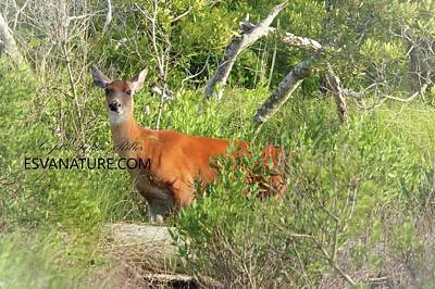 Photograph - White Tailed Deer In Maritime Forest by Captain Debbie Ritter