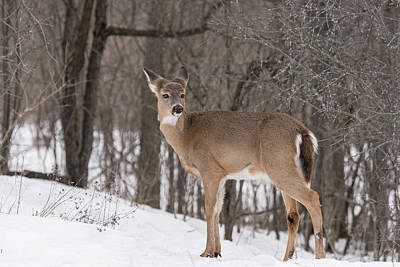 Cactus - White Tailed Deer In Winter by Guoqiang Xue