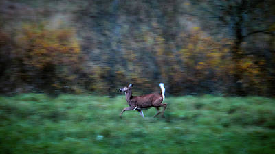 Photograph - White-tailed Deer by Jouko Lehto