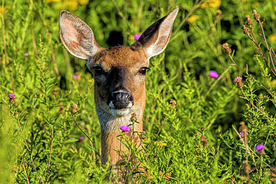 Photograph - White-tailed Deer  by Myer Bornstein