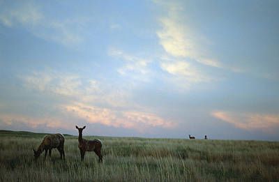 Prairie Sunset Photograph - White-tailed Deer On The Prairie by Joel Sartore