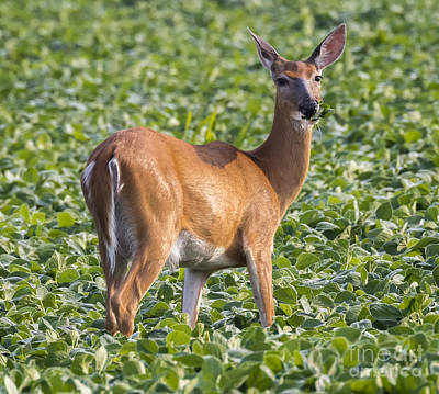 Photograph - White-tailed Deer by Ricky L Jones