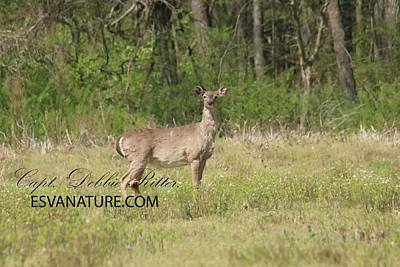 Photograph - White Tailed Deer Stands Tall by Captain Debbie Ritter