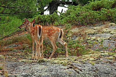 Photograph - White Tailed Deer Twins by Debbie Oppermann