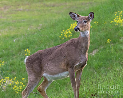 Photograph - White Tailed Doe by Blaine Blasdell