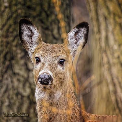 Photograph - White Tailed Doe Eyed Deer by LeeAnn McLaneGoetz McLaneGoetzStudioLLCcom