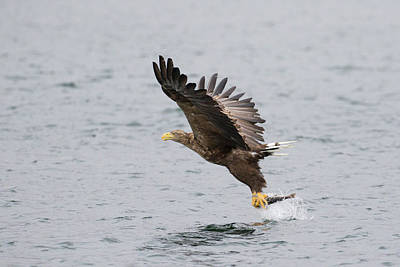 Photograph - White-tailed Eagle Catching Dinner by Karen Van Der Zijden