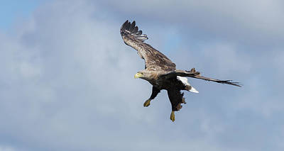 Photograph - White-tailed Eagle Dropping Down by Peter Walkden