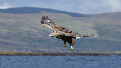 Photograph - White-tailed Eagle Over Loch by Peter Walkden