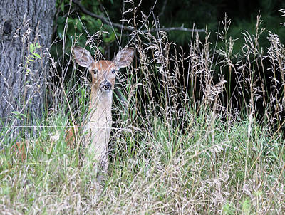 Photograph - White-tailed Fawn 2017-2 by Thomas Young