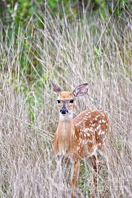 Pop Art - White-tailed fawn by JL Images