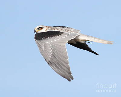 Bif Photograph - White-tailed Kite Hawk In Flight . 7d11110 by Wingsdomain Art and Photography