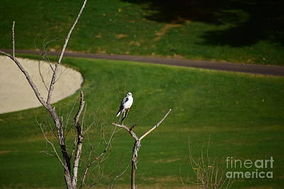 Photograph - White Tailed Kite by Johanne Peale