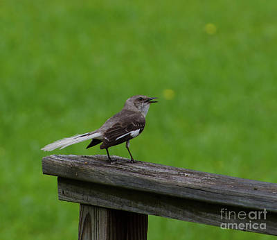 Photograph - White Tailed Mocking Bird by Donna Brown